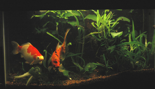 goldfish planted tank. to look at planted tanks.