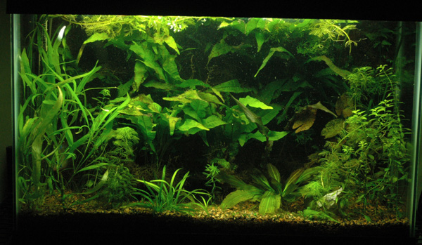 planted goldfish tank. I wanted a planted tank